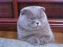 Scottish Fold (image via Kostij at en.wikipedia)