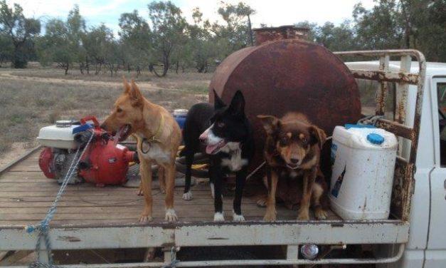 Di Ridge relies on 3 working dogs to run their sheep station