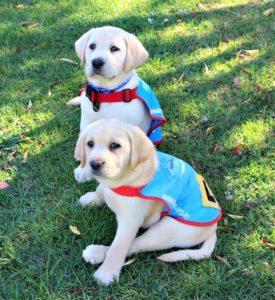 Dog Assistance Labrador puppies