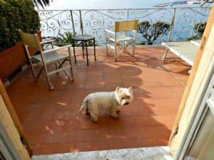 Jessie, the Westie in Portofino