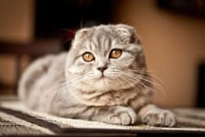 12 trendy cat mutations Scottish Fold