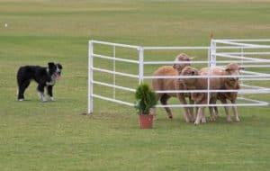 Dog Herding trials in Australia