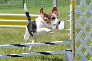 Dog sports in Australia