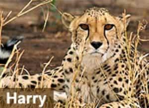 Sponsor a Cheetah in Africa