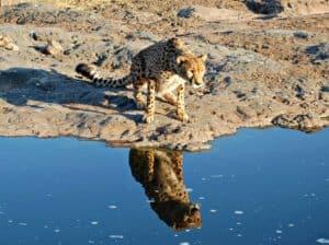 Orphan cub to Ambassador Cheetah