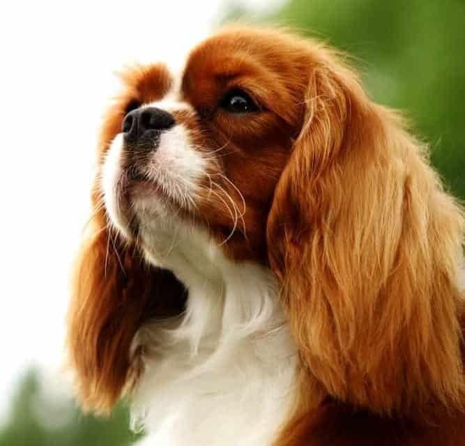 Chiari malformation in toy dog breeds study
