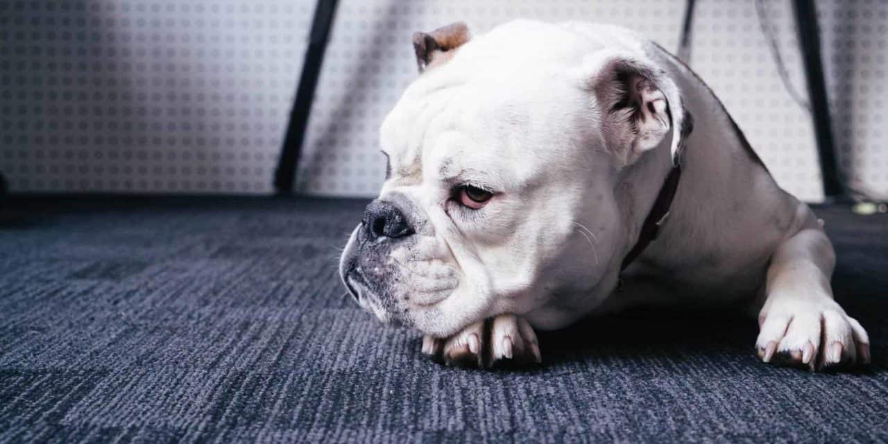 Megaoesophagus in dogs update