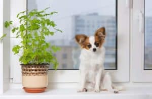 6 dog breeds suitable for apartments