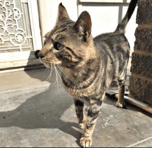 Adopt a male cat in South Australia.