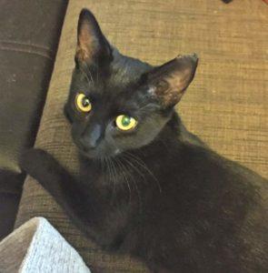 Adopt a black kitten in Brisbane