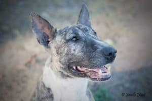 Adopt a Bull Terrier in NSW
