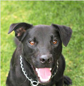 Adopt a Labrador Staffordshire Bull Terrier mix