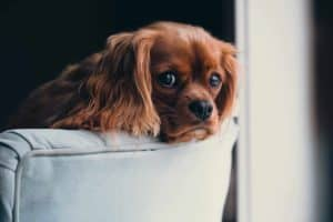 Canine viral diseases and vaccinations