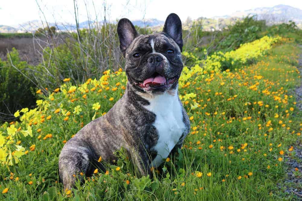 French Bulldog - Pets4Life