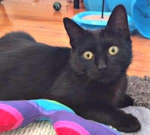 Adopt a black kitten in Sydney
