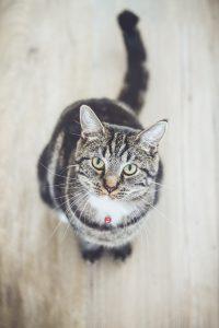 Purebred vs Crossbred cats pros and cons