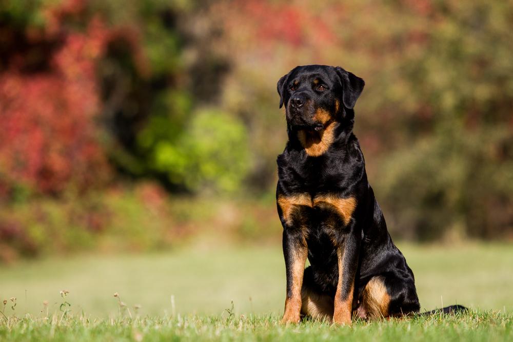 Rottweiler - Pets4Life