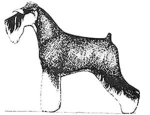Miniature Schnauzer breed profile