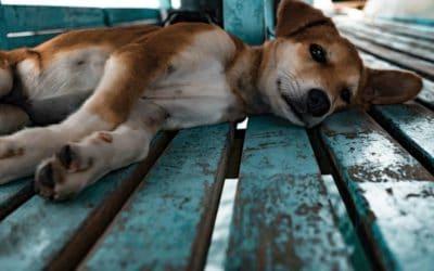 Heat stress, dehydration and sunburn in dogs