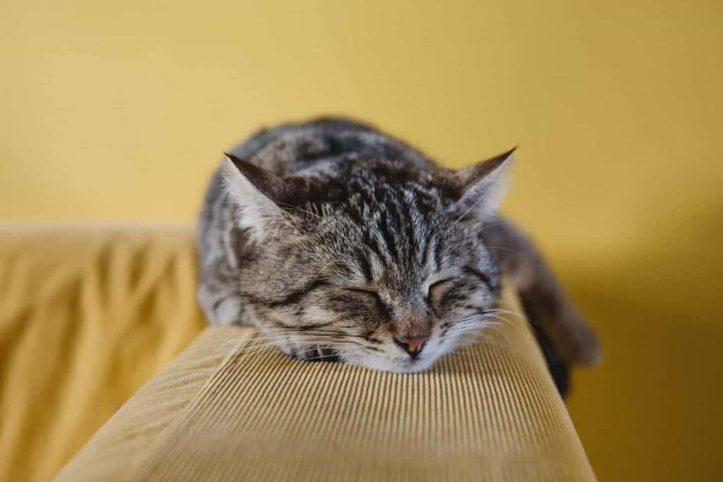 Cat Vet Dr Kim Kendall explains arthritis in cats
