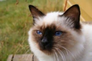 Birman cat breed profile