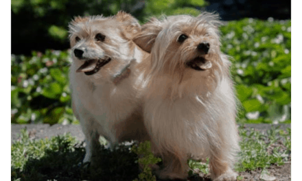 Adopt two small Jack Russell Terrier Maltese mix dogs in Victoria
