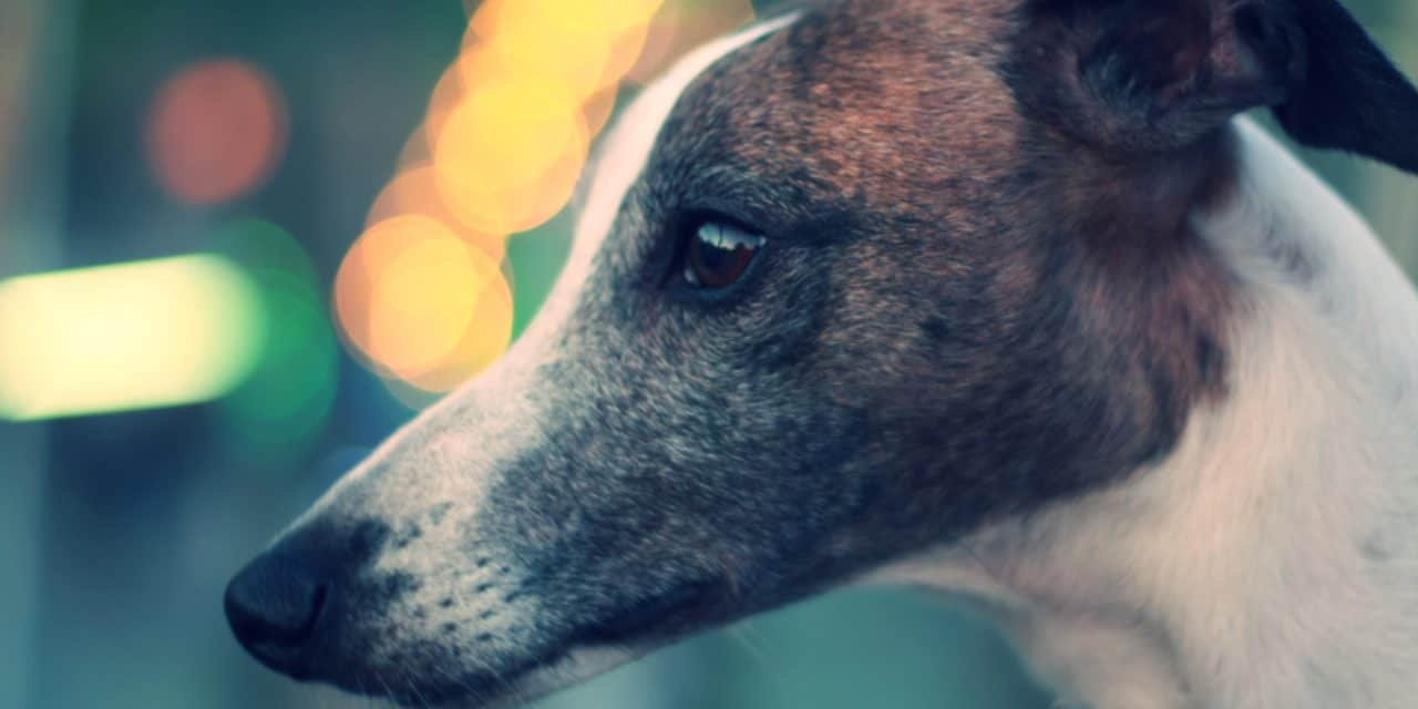 Un-muzzling greyhounds in Victoria