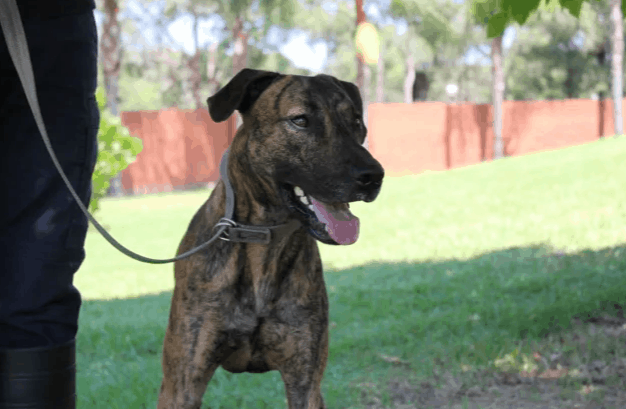 Adopt a medium male Bull Arab X Staffy dog in NSW
