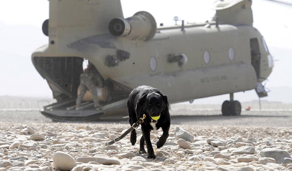 Sarbi the Australian war animal hero in Afghanistan