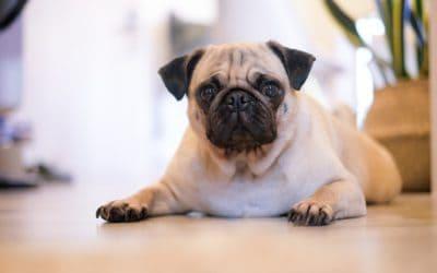 Canine brachycephaly is a welfare problem