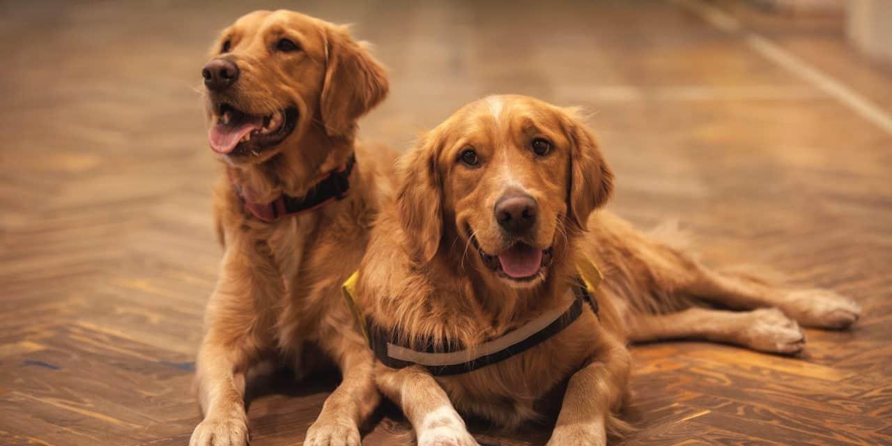 Inbreeding reduces litter sizes in purebred golden retrievers