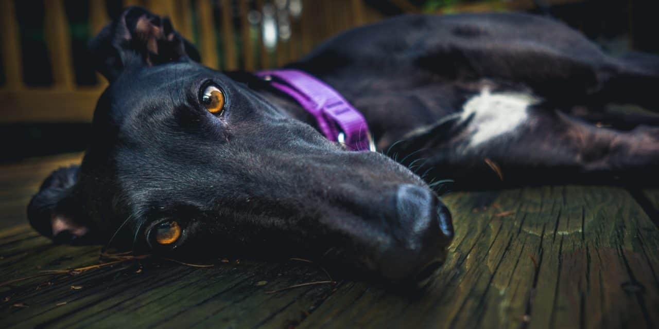 Predatory behaviour in greyhounds