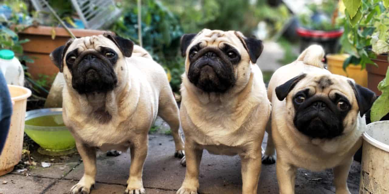 Respiratory complications in brachycephalic dogs