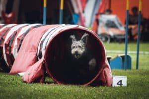 Dog agility. Photo: Angel Luciano/Unsplash.com